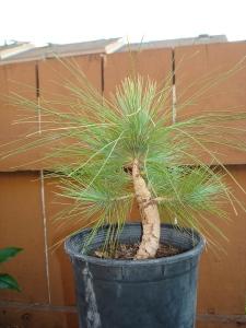 Pine Doe
